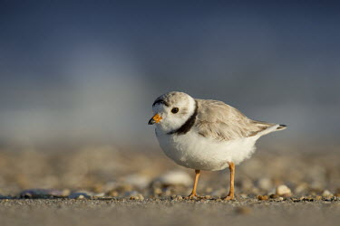 An endangered piping plover stands on a sandy beach with early sunlight shining on it plover,bird,birds,shorebird,Piping Plover,beach,brown,early,morning,orange,sand,sunlight,water,white,Piping plover,Charadrius melodus,Aves,Birds,Charadriiformes,Shorebirds and Terns,Charadriidae,Lapwi