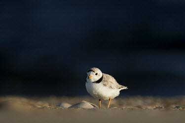Piping plover stands on a beach next to a small shell with a dark blue ocean background plover,bird,birds,shorebird,Piping Plover,beach,brown,dark,early,morning,ocean,orange,sand,shell,sunlight,water,white,Piping plover,Charadrius melodus,Aves,Birds,Charadriiformes,Shorebirds and Terns,C