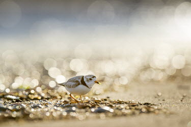 An endangered piping plover with a tiny piece of seaweed on its bill stands on a beach plover,bird,birds,shorebird,Piping Plover,backlight,beach,bokeh,bright,brown,early,ground,morning,orange,sand,seaweed,sun,sunlight,water,white,Piping plover,Charadrius melodus,Aves,Birds,Charadriiform