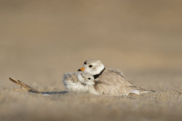 A touching moment as a tiny piping plover chick snuggles into its parent on a sandy beach plover,bird,birds,shorebird,Piping Plover,beach,brown,chick,cute,fluffy,grey,orange,parent,sand,snuggle,stick,sunny,tan,white,Piping plover,Charadrius melodus,Aves,Birds,Charadriiformes,Shorebirds and