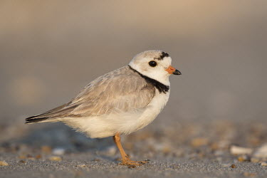 An endangered adult piping plover stands on a sandy beach on a bright sunny morning plover,bird,birds,shorebird,Piping Plover,adult,beach,brown,early,grey,morning,orange,sand,sunny,tan,white,Piping plover,Charadrius melodus,Aves,Birds,Charadriiformes,Shorebirds and Terns,Charadriidae