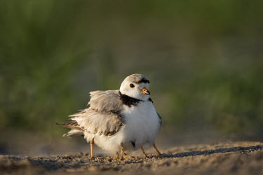 An adult endangered piping plover protects two of her chicks by hiding them under her wings plover,bird,birds,shorebird,Piping Plover,beach,brown,chicks,early,grass,grey,green,legs,morning,orange,sand,sunny,tan,white,Piping plover,Charadrius melodus,Aves,Birds,Charadriiformes,Shorebirds and