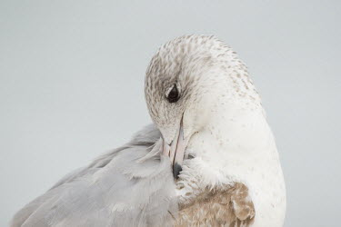 A juvenile ring-billed gull turns its head to preen and clean its feathers on its back in soft overcast light Ring-billed gull,gull,bird,birds,seabird,Animalia,Chordata,Aves,Charadriiformes,Laridae,Larus delawarensis,brown,close,eye,feathers,grey,juvenile,overcast,pink,preening,soft light,white,wings,BIRDS,Fl
