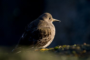 A dramatic portrait of a purple sandpiper standing on jetty rocks as the early morning sun shines on it Purple sandpiper,sandpiper,shorebird,birds,bird,Animalia,Chordata,Aves,Charadriiformes,Scolopacidae,Calidris maritima,bill,boulder,brown,dark,dramatic,feathers,jetty,morning,orange,rocks,sunny,water d