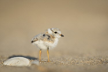 A cute baby piping plover stands on the sandy beach next to a shell on a bright sunny morning plover,bird,birds,shorebird,Piping Plover,adorable,beach,bright,brown,chick,cute,fluffy,fuzzy,orange,sand,shell,small,sunny,tan,tiny,Piping plover,Charadrius melodus,Aves,Birds,Charadriiformes,Shorebi