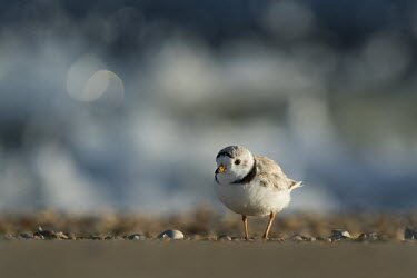 This piping plover stopped in some beautiful early morning sunlight a with waves crashing in the background plover,bird,birds,shorebird,Piping Plover,beach,bokeh,brown,early,morning,ocean,orange,sand,sunlight,water,wave,white,Piping plover,Charadrius melodus,Aves,Birds,Charadriiformes,Shorebirds and Terns,C
