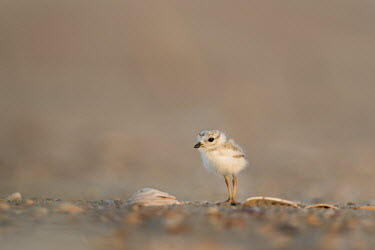 A tiny fluffy piping plover chick stands on a sandy beach with shells as the early morning sun lights up the day plover,bird,birds,shorebird,Piping Plover,adorable,beach,brown,chick,cute,early,fluffy,morning,sand,small,sunny,tan,tiny,Piping plover,Charadrius melodus,Aves,Birds,Charadriiformes,Shorebirds and Tern