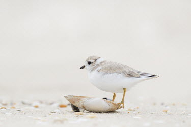 A juvenile piping plover stands on a small shell on the beach on an overcast day plover,bird,birds,shorebird,Piping Plover,beach,brown,juvenile,overcast,sand,shell,soft,tiny,white,young,Piping plover,Charadrius melodus,Aves,Birds,Charadriiformes,Shorebirds and Terns,Charadriidae,L
