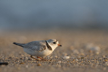 An endangered adult piping plover crouches on a sandy and pebbly beach on a bright sunny morning plover,bird,birds,shorebird,Piping Plover,adult,beach,brown,early,grey,morning,orange,sand,sunny,tan,white,Piping plover,Charadrius melodus,Aves,Birds,Charadriiformes,Shorebirds and Terns,Charadriidae