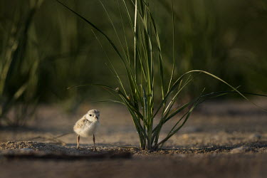 A tiny endangered piping plover chick stands in the early morning sunlight plover,bird,birds,shorebird,Piping Plover,beach,brown,chick,early,grass,green,morning,sand,sunny,tan,Piping plover,Charadrius melodus,Aves,Birds,Charadriiformes,Shorebirds and Terns,Charadriidae,Lapwi