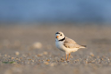 An endangered adult piping plover stands on a sandy beach on a bright sunny morning plover,bird,birds,shorebird,Piping Plover,adult,beach,brown,early,grey,morning,ocean,orange,sand,sunny,tan,water,white,Piping plover,Charadrius melodus,Aves,Birds,Charadriiformes,Shorebirds and Terns,
