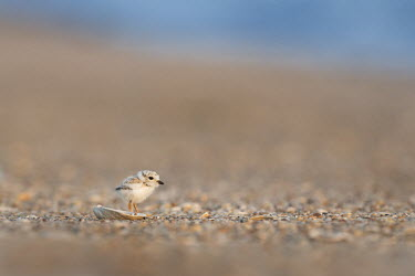 A very tiny and incredibly adorable piping plover chick stands behind a small shell plover,bird,birds,shorebird,Piping Plover,adorable,beach,brown,chick,cute,early,legs,morning,pebbles,reflection,shell,sunny,tan,tiny,Piping plover,Charadrius melodus,Aves,Birds,Charadriiformes,Shorebi