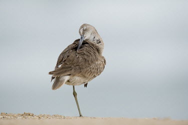 A willet preens and cleans its feathers with its eye shut while standing on one leg in soft overcast light sandpiper,bird,birds,shorebird,Willet,beach,bill,brown,cleaning,feathers,fluffed,foot,leg,overcast,preening,ruffled,sand,sandy,smooth background,soft light,standing,Catoptrophorus semipalmatus,Charadr
