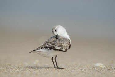A small sanderling stands on a sandy beach while preening and cleaning its feathers sandpiper,sanderling,shorebird,bird,birds,beach,cleaning,grey,preening,sand,sandy,smooth background,sunny,wings,Sanderling,Calidris alba,Charadriiformes,Shorebirds and Terns,Chordates,Chordata,Sandpip