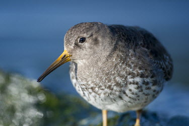 A close up portrait of a purple sandpiper on a bright sunny day with a smooth blue background blue,Portrait,Purple sandpiper,sandpiper,shorebird,birds,bird,Animalia,Chordata,Aves,Charadriiformes,Scolopacidae,Calidris maritima,bright,brown,close-up,detail,eye,feathers,grey,green,orange,smooth b