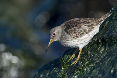 A purple sandpiper clings to the slick rocks as it searches for food on a bright sunny day Purple sandpiper,sandpiper,shorebird,birds,bird,Animalia,Chordata,Aves,Charadriiformes,Scolopacidae,Calidris maritima,bokeh,boulder,bright,brown,shallow focus,feeding,green,jetty,orange,rock,seaweed,s