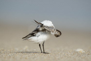 A sanderling flips its head around trying to clean its wing tip while standing on a sandy beach sandpiper,sanderling,shorebird,bird,birds,action,beach,brown,cleaning,feathers,grey,preening,sand,sandy,smooth background,sunny,upside down,wing,Sanderling,Calidris alba,Charadriiformes,Shorebirds and