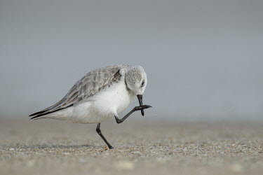 A sanderling stands on a sandy beach while using its foot to scratch its bill sandpiper,sanderling,shorebird,bird,birds,action,beach,feathers,foot,grey,sand,scratching,small,smooth background,soft light,standing,white,Sanderling,Calidris alba,Charadriiformes,Shorebirds and Tern