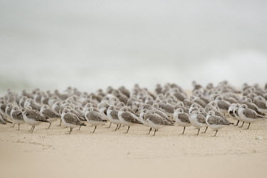 A large flock of sanderlings stand on a sandy beach resting with their bills tucked into their feathers sandpiper,sanderling,shorebird,bird,birds,beach,brown,flock,grey,group,legs,many,overcast,resting,sand,small,smooth background,soft light,white,Sanderling,Calidris alba,Charadriiformes,Shorebirds and
