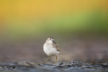 Least sandpiper Least Sandpiper,sandpiper,brown,comical,funny,green,leg,orange,pose,small,soft background,soft light,tiny,white,Semipalmated sandpiper,Calidris pusilla,Semipalmated Sandpiper,Charadriiformes,Shorebird