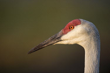 A close head shot of an adult sandhill crane with a smooth background in the early morning sunlight crane,Sandhill Crane,bill,bumpy,close,dirt,early,eye,feathers,grey,green,head shot,morning,orange,pupil,red,skin,smooth background,sunlight,sunny,texture,white,Sandhill crane,Grus canadensis,Chordates