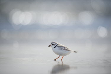 An endangered piping plover searches for food by probing its foot into the wet sand along the shoreline plover,bird,birds,shorebird,Piping Plover,bokeh,bright,cute,ocean,orange,reflection,sunny,tiny,water,white,Piping plover,Charadrius melodus,Aves,Birds,Charadriiformes,Shorebirds and Terns,Charadriidae
