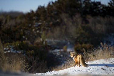 The red fox took a moment to look back at me as it stood on a snow covered sand dune Island Beach State Park,cold,fox,fur,orange,red fox,snow,walking,white,winter,Red fox,Vulpes vulpes,Chordates,Chordata,Mammalia,Mammals,Carnivores,Carnivora,Dog, Coyote, Wolf, Fox,Canidae,Renard Roux,
