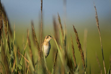 A curious seaside sparrow  perches high on some of the marsh grass it calls home on a sunny morning blue Sky,Seaside sparrow,sparrow,bird,birds,Animalia,Chordata,Aves,Passeriformes,Passerellidae,Ammospiza maritima,Summer,brown,early,grass,green,marsh,marsh grass,morning,perched,sunny,white,Ammodramu