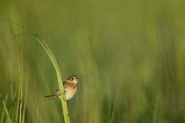 A seaside sparrow hangs on a piece of marsh grass Seaside sparrow,sparrow,bird,birds,Animalia,Chordata,Aves,Passeriformes,Passerellidae,Ammospiza maritima,Thompson's Beach,adorable,brown,cute,feathers,grass,marsh grass,perched,small,smooth background