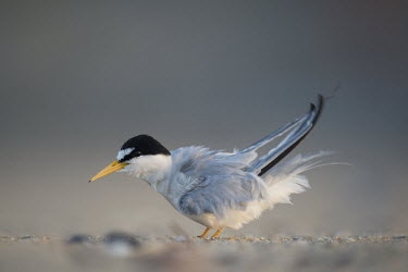 An adult least tern shakes out its feathers after a preening session on the sandy beach in the early morning sunlight least tern,tern,terns,action,adult,beach,early,feathers,grey,morning,ruffled,sand,shake,white,Sternula antillarum,BIRDS,Least Tern,animal,black,gray,ground level,low angle,wildlife,yellow