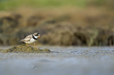 A semipalmated plover uses its feet to stir up food in the shallow mud flats on a sunny morning plover,shorebird,bird,birds,Semipalmated Plover,brown,feeding,green,legs,orange,shore,soft light,sunny,water,water level,white,Semipalmated plover,Charadrius semipalmatus,Chordates,Chordata,Charadriif