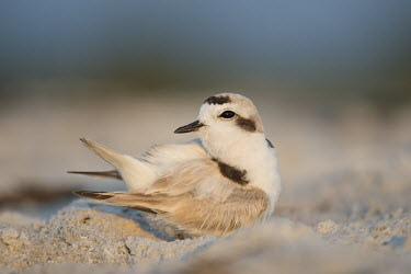 A tiny snowy plover preens its feathers on the sandy beach blue,plover,bird,birds,shorebird,Snowy Plover,beach,brown,cute,early,green,morning,sand,small,sunlight,tan,tiny,warm,white,white brown,Snowy plover,Charadrius nivosus,Aves,Birds,Chordates,Chordata,Cha