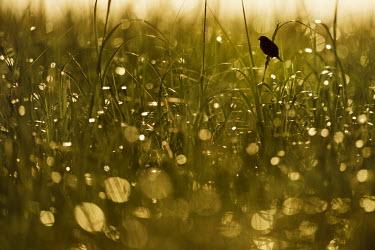 A seaside sparrow perches high on some tall marsh grass in the morning sun Seaside sparrow,sparrow,bird,birds,Animalia,Chordata,Aves,Passeriformes,Passerellidae,Ammospiza maritima,Silhouette,Summer,backlight,bokeh,early,grass,marsh grass,morning,perched,Ammodramus maritimus,