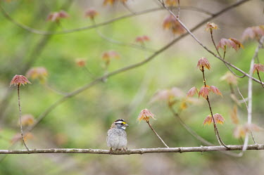 A small white-throated sparrow sits on a very pretty perch with newly growing leaves in the spring White-Throated Sparrow,bird,birds,sparrow,Animalia,Chordata,Aves,Passeriformes,Passerellidae,Zonotrichia albicollis,brown,cute,grey,green,leaves,perched,red,small,spring,tree,white,BIRDS,animal,gray,n