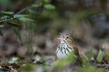 An ovenbird sings loudly as it sits on the forest floor with some green leaves around it bird,birds,warbler,brown,calling,green,ground,leaves,loud,noise,noisy,orange,overcast,singing,spring,tan,white,Ovenbird,Seiurus aurocapilla,Aves,Birds,Perching Birds,Passeriformes,Chordates,Chordata,P