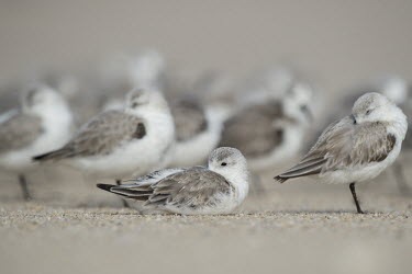 A flock of sanderlings sleep on the beach with one bird sitting down and the rest standing around it sandpiper,sanderling,shorebird,bird,birds,beach,brown,grey,resting,sand,sitting,sleeping,soft light,standing,white,Sanderling,Calidris alba,Charadriiformes,Shorebirds and Terns,Chordates,Chordata,Sand