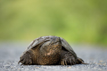 A common snapping turtle walks along a paved road brown,claws,green,ground,large,pavement,reptile,rough,shell,snapping turtle,tough,turtle,Common snapping turtle,Chelydra serpentina,Snapping Turtles,Chelydridae,Reptilia,Reptiles,Chordates,Chordata,Tu