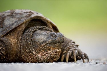 A close up portrait of a Common snapping turtle Portrait,brown,claws,close,eye,green,natural,reptile,snapping turtle,turtle,Common snapping turtle,Chelydra serpentina,Snapping Turtles,Chelydridae,Reptilia,Reptiles,Chordates,Chordata,Turtles,Testudi