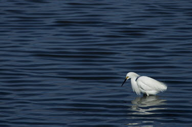 A bright white snowy egret stands in shallow water surrounded by small waves blue,Snowy egret,egret,bird,birds,bright,dark,feeding,fishing,pattern,reflection,space,sunny,water,waves,white,Egretta thula,Snowy Egret,Herons, Bitterns,Ardeidae,Chordates,Chordata,Aves,Birds,Ciconii