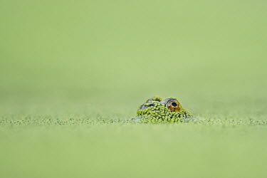 A tiny frog's one eye is visible just above the surface of the solid green duckweed covered water Summer,amphibian,duckweed,eye,frog,green,small,soft light,tiny,water,water level,Common frog,Rana temporaria,Anura,Frogs and Toads,Amphibians,Amphibia,Ranidae,Ranids,Chordates,Chordata,Rana Bermeja,Aq