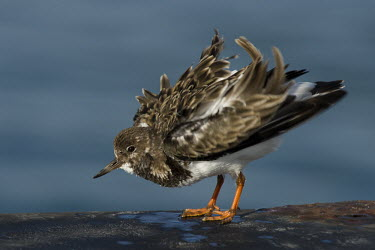 A ruddy turnstone shakes out its feathers and looks fluffed up on a sunny day blue,Ruddy turnstone,shorebird,bird,birds,coast,coastal,sandpiper,action,brown,feathers,feet,fluffed,funny,legs,movement,orange,pattern,ruffled,shake,smooth background,standing,sunny,white,wind,Arenar