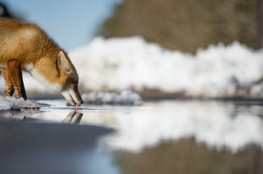 A red fox stops to take a drink on a bright sunny winter day blue,Island Beach State Park,cold,drinking,fox,fur,orange,red fox,reflection,snow,water,white,winter,Red fox,Vulpes vulpes,Chordates,Chordata,Mammalia,Mammals,Carnivores,Carnivora,Dog, Coyote, Wolf, F