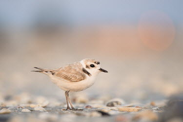 A small cute snowy plover stands on a shell covered beach plover,bird,birds,shorebird,Snowy Plover,beach,cute,dawn,early,morning,sand,shells,small,sunlight,sunrise,tan,tiny,warm,white,white brown,Snowy plover,Charadrius nivosus,Aves,Birds,Chordates,Chordata,