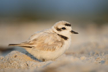 A tiny snowy plover sits on the beach sand as the early morning sun lights up the beach blue,plover,bird,birds,shorebird,Snowy Plover,beach,cute,early,morning,sand,small,sunlight,tan,tiny,white brown,Snowy plover,Charadrius nivosus,Aves,Birds,Chordates,Chordata,Charadriiformes,Shorebirds