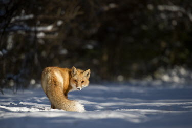 A red fox turns back to look at the camera in the snow on a sunny winter day Island Beach State Park,cold,fox,fur,orange,red fox,snow,white,winter,Red fox,Vulpes vulpes,Chordates,Chordata,Mammalia,Mammals,Carnivores,Carnivora,Dog, Coyote, Wolf, Fox,Canidae,Renard Roux,Zorro Ro