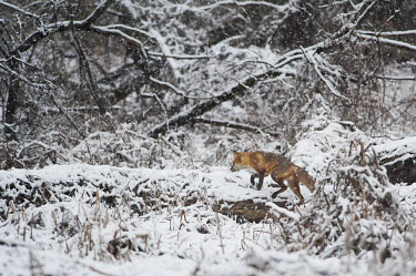 A red fox walks along a fallen tree in an early spring snow in Southern New Jersey Snowy Egret,black,brown,fur,red,red fox,scenic,snow,snowing,trees,walking,white,winter,Red fox,Vulpes vulpes,Chordates,Chordata,Mammalia,Mammals,Carnivores,Carnivora,Dog, Coyote, Wolf, Fox,Canidae,Ren