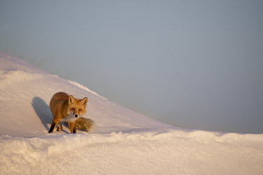 A red fox looks at the camera as the late evening sun shines on it while it stands in deep snow blue Sky,cold,evening,fox,fur,orange,red,red fox,snow,sunlight,walking,white,winter,Red fox,Vulpes vulpes,Chordates,Chordata,Mammalia,Mammals,Carnivores,Carnivora,Dog, Coyote, Wolf, Fox,Canidae,Renard