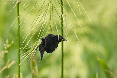 A red-winged Blackbird hangs from wild rice plants on a sunny day with a green background Red-Winged Blackbird,blackbird,bird,birds,clinging,green,hanging,perched,plant,sunny,Agelaius phoeniceus,Red-winged blackbird,Chordates,Chordata,Aves,Birds,Perching Birds,Passeriformes,Blackbirds,Icte