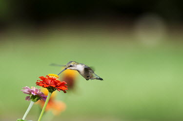 A female ruby-throated hummingbird feeds on a Zinnia flower hummingbird,Ruby-throated hummingbird,bird,birds,fast,feeding,female,flying,green,hovering,motion,movement,orange,red,smooth background,soft light,white,wings,zinnia,Archilochus colubris,Hummingbirds,