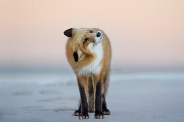A red fox shakes its head to the side as it stands on the beach in the soft dusk light Island Beach State Park,cold,dusk,fox,fur,orange,red fox,shaking,white,winter,Red fox,Vulpes vulpes,Chordates,Chordata,Mammalia,Mammals,Carnivores,Carnivora,Dog, Coyote, Wolf, Fox,Canidae,Renard Roux,